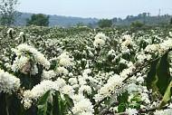 Kinh nghiệm đi phượt Tây Nguyên mùa hoa cà phê