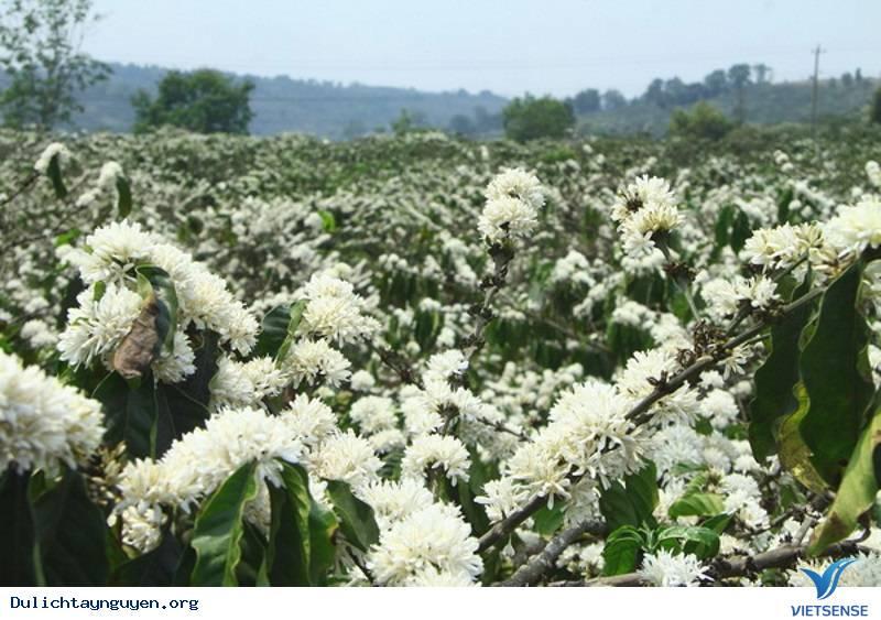 Kinh nghiệm đi phượt Tây Nguyên mùa hoa cà phê nở