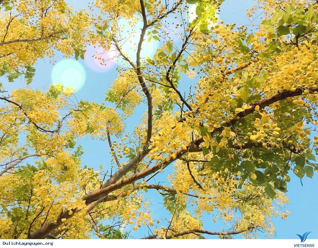 Ngỡ Ngàng Mùa Hoa Muồng Vàng Rực Góc Trời Gia Lai